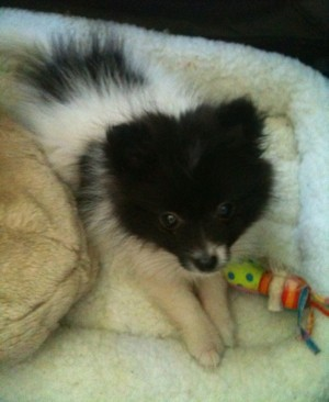 Coco black and white Pomeranian on dog bed
