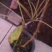 Bent locust tree trunk.