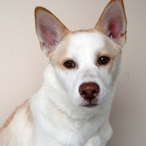 White dog with tan ears and ridge on back.