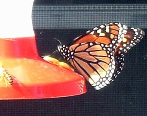 Butterfly and honeybee on feeder