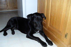 Black dog lying next to cupboards.