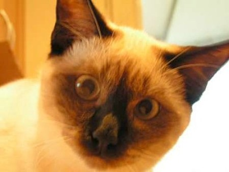 A close up of a Balinese cat.