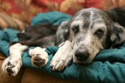 Older dog lying on blanket.