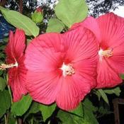 Crimson Beauty (Hibiscus)