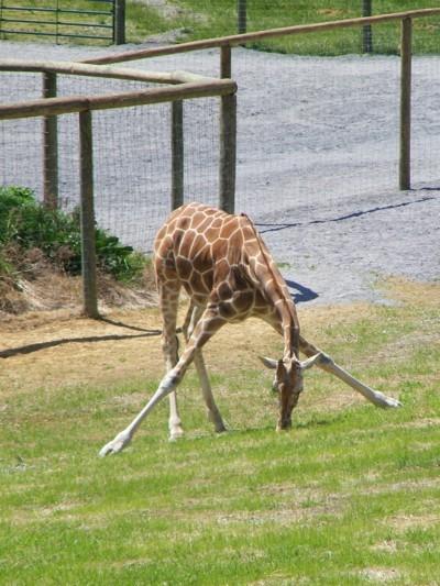 Giraffe At Virginia Safari Zoo