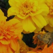 A Moth on marigold flowers