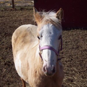 Paint Tennessee Walker filly.