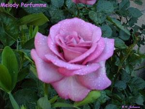 Pink rose, Melody Parfumme..