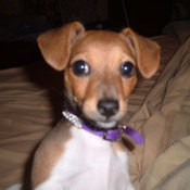 Abby (Chihuahua/Jack Russell)