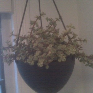 Hanging houseplant.