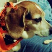 Dog with an orange Halloween print  scarf.