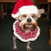Sadie (Yorkshire Terrier)
