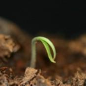 seed germinating