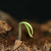 seed germinating