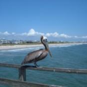 A pelican on a railing near a resort beach.