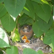 Robin in nest with babies.