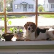 Baxter (Beagle)