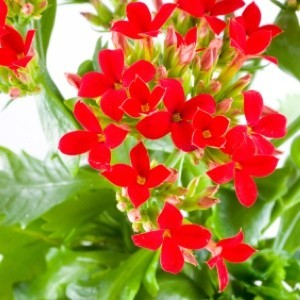 red flowering kalachoe