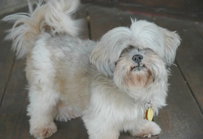 Gizmo (Shih Tzu) - Light colored Shih Tzu with hair that covers his  eyes and bottom teeth that stick out.