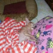Mansy (Chihuahua)