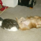 Dog and cat laying on a carpet.