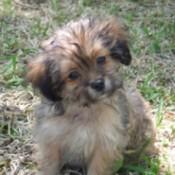 A shih tzu yorkie puppy.