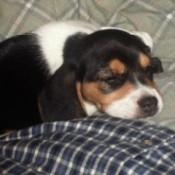 Lola (Beagle)
