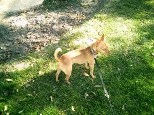 Small tan dog with curly tail and pointy ears.
