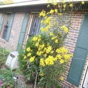 Gardening: Sunflowers