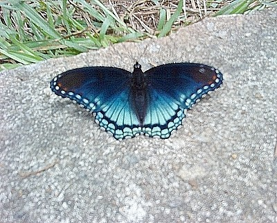 Blue Butterfly on Rock