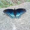 Blue Butterfly on Rock