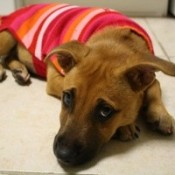 Brown dog in sweater lying on floor.