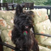 Small black dog on patio chair.