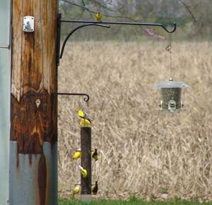 Wildlife: Goldfinches