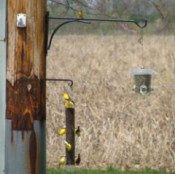 Wildlife: Goldfinches