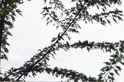 many birds in a tree