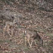 Deer in Virginia.