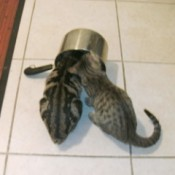 Kittens with heads in a pot.