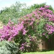 pink flowering crepe myrtle