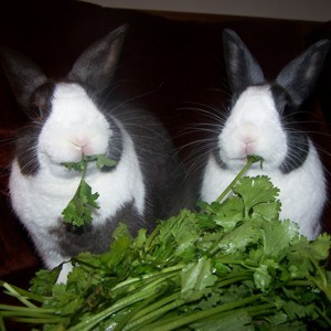 Rascal and Smokey (Dutch Rabbits)