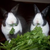 Rascal and Smokey (Dutch Rabbits)