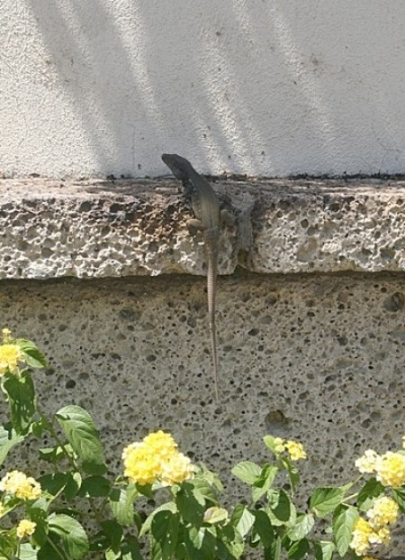 Lizard on concrete wall.