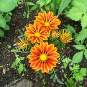 Three full Gazania blooms and several budding flowers in garden