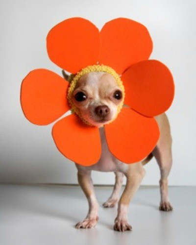Chihuahua wearing an orange flower headdress.