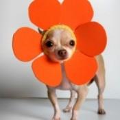 Chihuahua wearing an orange flower headdress.