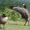 Wildlife: Canada Geese - goose displaying