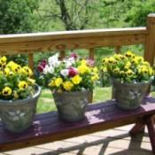 Pansies in pots on deck.