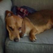 Sasha (Beagle/Basset Hound/Dachshund Mix)