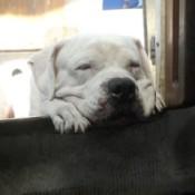 White Bulldog closeup on head.