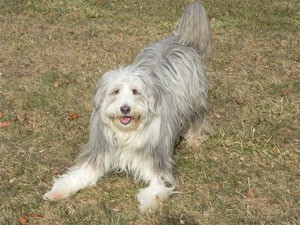 gray and white Bearded Collie